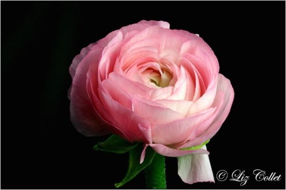 195843 Pink Ranunkel © Liz Collet